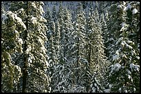 Pine trees with fresh snow, Eldorado National Forest. California, USA