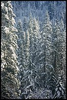 Pine trees with fresh snow, Eldorado National Forest. California, USA (color)