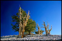 Bristlecone Pine trees, Patriarch Grove. California, USA (color)