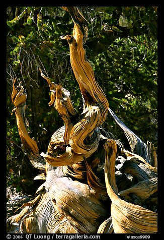 Ancient Bristlecone Pine tree, Methuselah grove. California, USA (color)