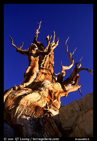 Bristlecone Pine tree, late afternoon, Discovery Trail, Schulman Grove. California, USA (color)
