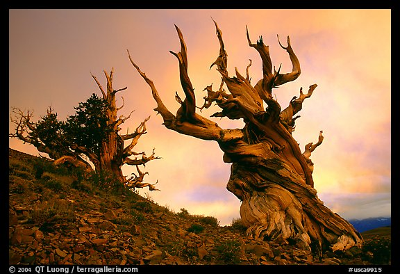 Gnarled Bristlecone Pine trees  at sunset, Discovery Trail, Schulman Grove. California, USA (color)