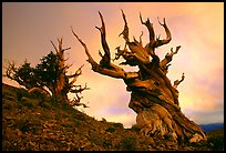 Gnarled Bristlecone Pine trees  at sunset, Discovery Trail, Schulman Grove. California, USA ( color)