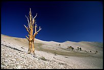 Lone Bristlecone Pine tree squeleton, Patriarch Grove. California, USA (color)