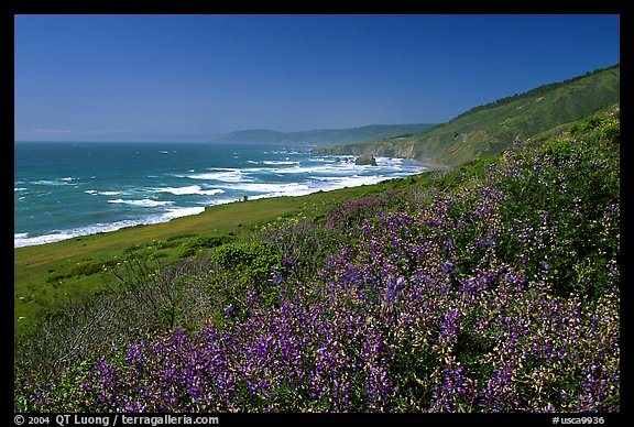 Purple wildflowers and Ocean near Fort Bragg. California, USA