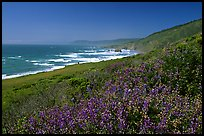 Purple wildflowers and Ocean near Fort Bragg. California, USA ( color)