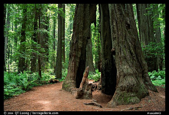 Hollowed tree, Humbolt Redwood State Park. California, USA