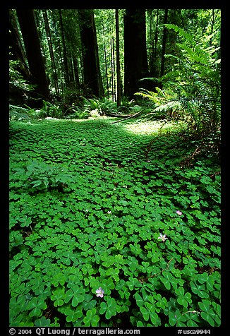 Redwood sorrel (Oxalis oreganum) and Redwoods, Humbolt Redwood State Park. California, USA
