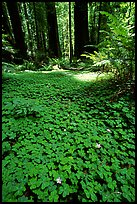 Redwood sorrel (Oxalis oreganum) and Redwoods, Humbolt Redwood State Park. California, USA (color)
