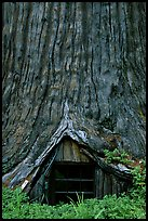 Tree House, a room inside the hollowed base of a living redwood tree,  near Leggett. California, USA ( color)