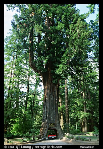 Picture/Photo: Drive-Through Chandelier Tree, Leggett. California, USA