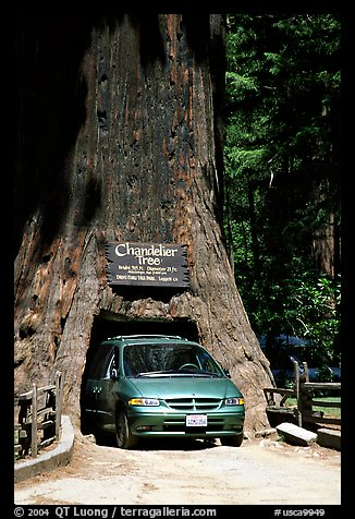 Van driving through the Chandelier Tree, Leggett, afternoon. California, USA (color)