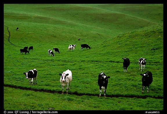 Cows in green pastoral lands. Point Reyes National Seashore, California, USA (color)