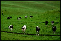 Cows in green pastoral lands. Point Reyes National Seashore, California, USA