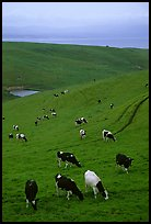 Cows in green pastures near Drakes Estero. Point Reyes National Seashore, California, USA (color)