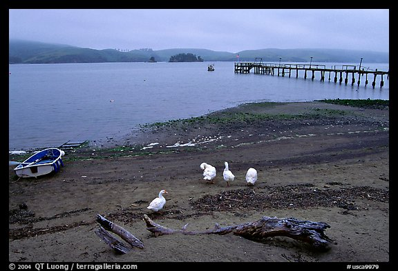 Ducks and Pier, Tomales Bay. California, USA (color)