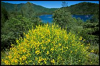 Bush in bloom with yellow flowers, and Shasta Lake criscrossed by watercrafts. California, USA