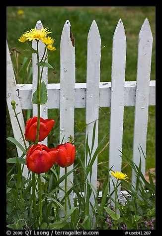 Flowers and white fence, Old Saybrook. Connecticut, USA (color)