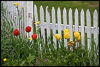 Tulips and white picket fence, Old Saybrook. Connecticut, USA ( color)