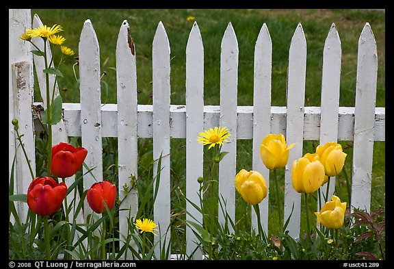 Picture/Photo: Yellow and red tulips, white picket fence, Old