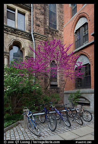 Redbud and bicycles in building corner. Yale University, New Haven, Connecticut, USA (color)