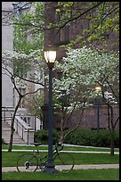 Street lamp and dogwoods in bloom, Essex. Yale University, New Haven, Connecticut, USA