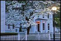 Dogwood in bloom, street light, and facade at night, Essex. Connecticut, USA ( color)
