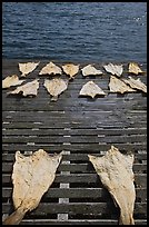 Drying slabs of fish. Mystic, Connecticut, USA ( color)