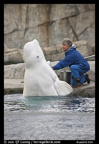 Beluga whale jumping out of water during feeding session. Mystic, Connecticut, USA