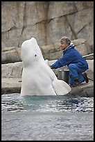 Beluga whale jumping out of water during feeding session. Mystic, Connecticut, USA ( color)