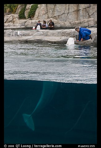 White Beluga whale being fed. Mystic, Connecticut, USA