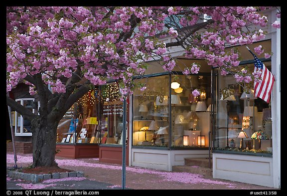 Lamp store and tree in bloom,	Old Saybrook. Connecticut, USA (color)