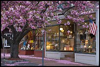 Lamp store and tree in bloom,	Old Saybrook. Connecticut, USA ( color)