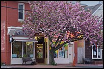 Stores and tree in bloom, Old Lyme. Connecticut, USA (color)