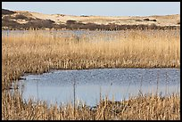 Reeds in Pilgrim Lake and parabolic dunes, Cape Cod National Seashore. Cape Cod, Massachussets, USA