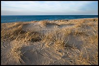 Dune grass, late afternoon, Race Point Beach, Cape Cod National Seashore. Cape Cod, Massachussets, USA (color)