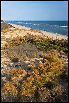 Dune vegetation, Cape Cod National Seashore. Cape Cod, Massachussets, USA (color)