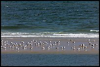 Sand bar with seabirds, Cape Cod National Seashore. Cape Cod, Massachussets, USA ( color)