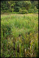Tall grasses in meadow, Minute Man National Historical Park. Massachussets, USA (color)