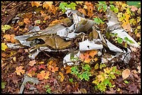 Autumn leaves and cluster of mangled aluminum from B-52 crash. Maine, USA