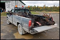 Truck with harvested moose, Kokadjo. Maine, USA