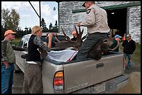 Inspectors recording antler length of killed moose, Kokadjo. Maine, USA ( color)