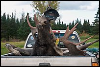Moose with kill tag in back of truck being lifted, Kokadjo. Maine, USA