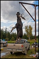 Huge moose lifted from truck for weighting, Kokadjo. Maine, USA ( color)