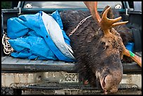 Large killed moose in back of truck, Kokadjo. Maine, USA