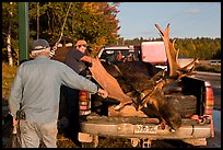 Hunters preparing to weight taken moose. Maine, USA
