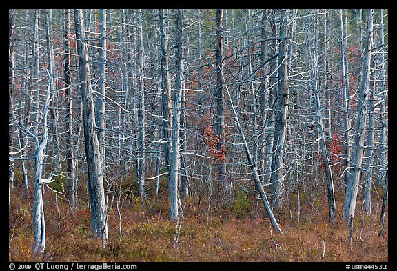 Dense forest of dead standing trees. Maine, USA