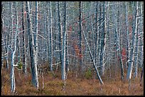 Dense forest of dead standing trees. Maine, USA ( color)