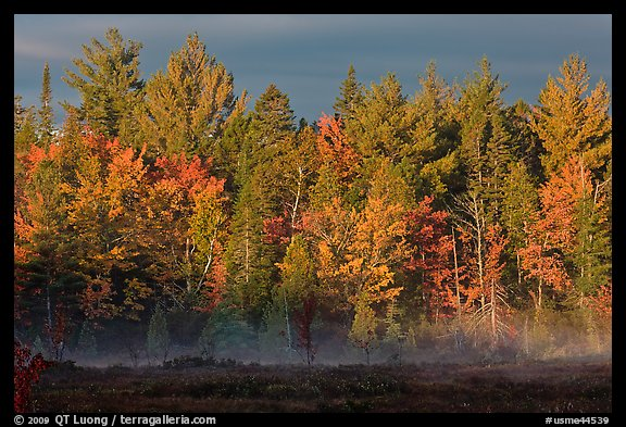 Forest with low layer of fog, morning autumn. Maine, USA (color)