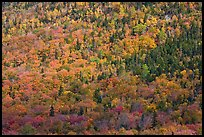 Evergreens and deciduous trees mixed on mountain slope in autumn. Baxter State Park, Maine, USA